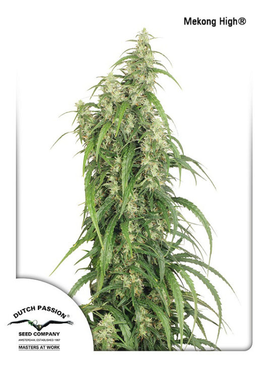 Mekong High Feminizowane, Nasiona Marihuany, Konopi, Cannabis