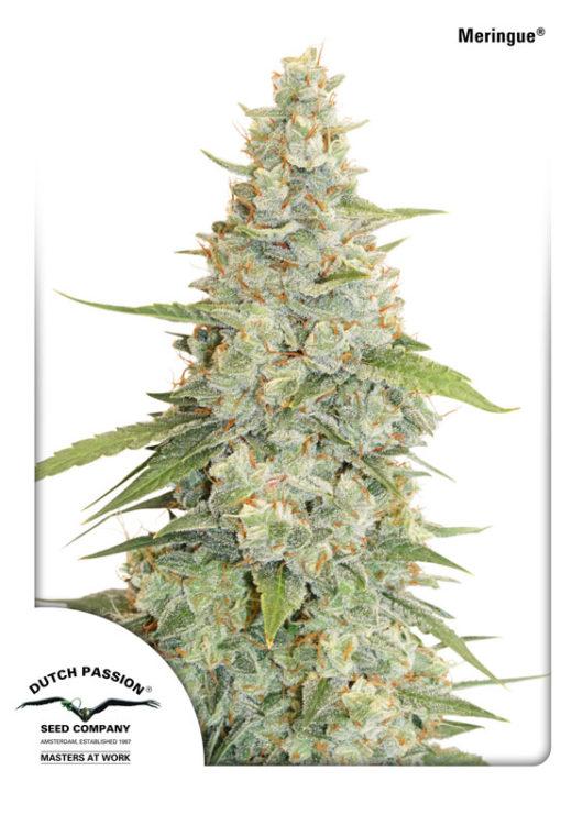 Meringue Feminizowane, Nasiona Marihuany, Konopi, Cannabis
