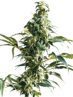 Mexican Sativa Feminizowane, Nasiona Marihuany, Konopi, Cannabis