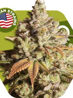 Misty Gorilla Feminizowane, Nasiona Marihuany, Konopi, Cannabis