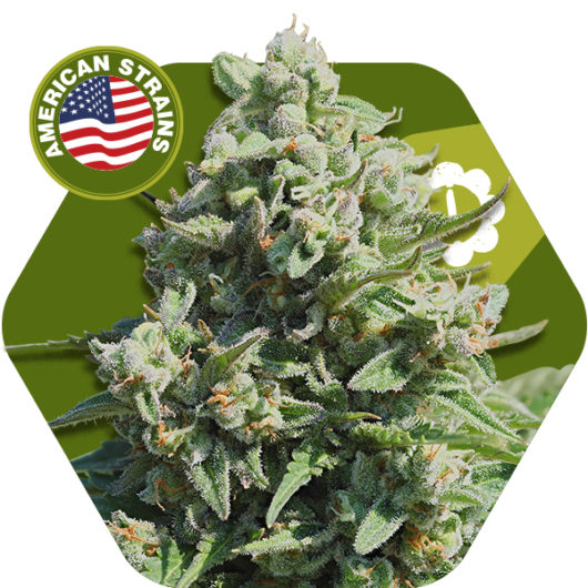 Misty Gorilla Automatic Feminizowane, Nasiona Marihuany, Konopi, Cannabis