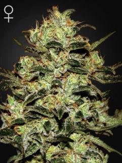 Moby Dick Feminizowane, Nasiona Marihuany, Konopi, Cannabis