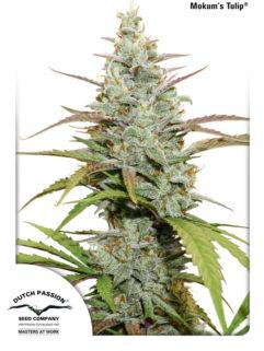 Mokum's Tulip Feminizowane, Nasiona Marihuany, Konopi, Cannabis