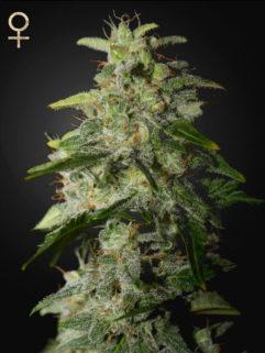 Money Maker Feminizowane, Nasiona Marihuany, Konopi, Cannabis