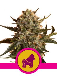 Mother Gorilla Feminizowane, Nasiona Marihuany, Konopi, Cannabis