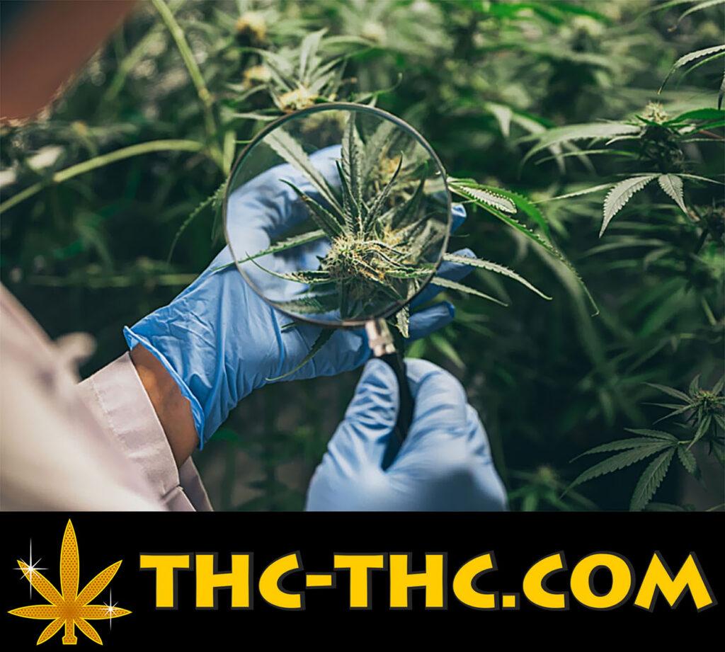jak uprawiać marihuanę, strategie i innowacje w nawożeniu składnikami odżywczymi roślin konopi indyjskich z thc