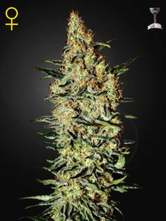 Neville's Haze Feminizowane, Nasiona Marihuany, Konopi, Cannabis