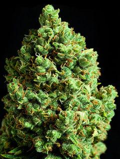 New Diesel Feminizowane, Nasiona Marihuany, Konopi, Cannabis