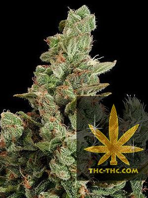 New Diesel Automatic Feminizowane, Nasiona Marihuany, Konopi, Cannabis