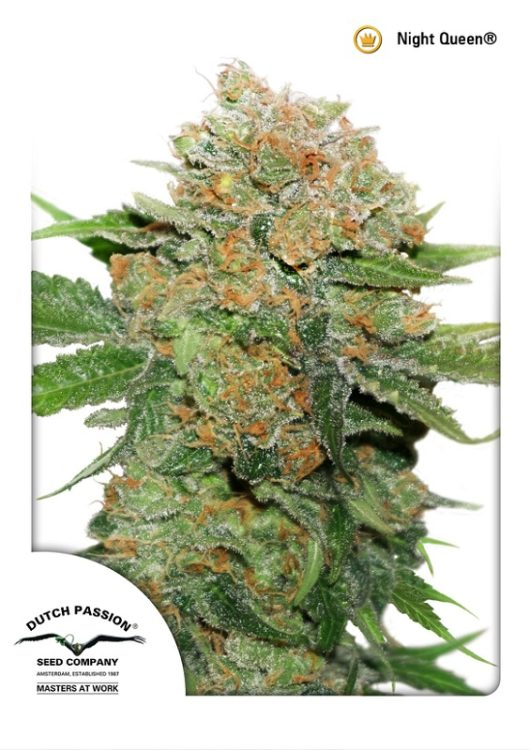 Night Queen Feminizowane, Nasiona Marihuany, Konopi, Cannabis