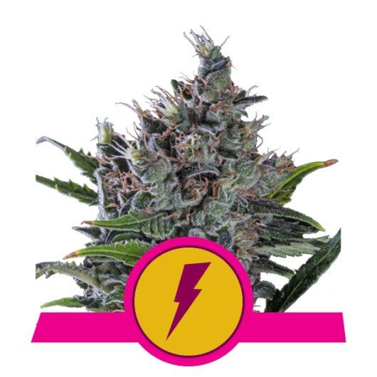 North Thunderfuck Feminizowane, Nasiona Marihuany, Konopi, Cannabis