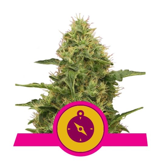 Northern Light Feminizowane, Nasiona Marihuany, Konopi, Cannabis