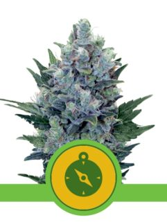 Northern Light Automatic Feminizowane, Nasiona Marihuany, Konopi, Cannabis