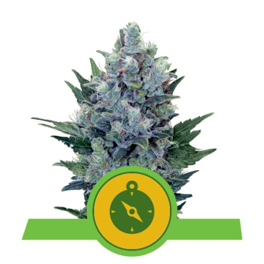 Northern Light Automatic Feminizowane, Nasiona Marihuany, Konopi, Cannabis