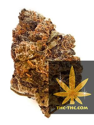 Northern Light XXL Feminizowane, Nasiona Marihuany, Konopi, Cannabis