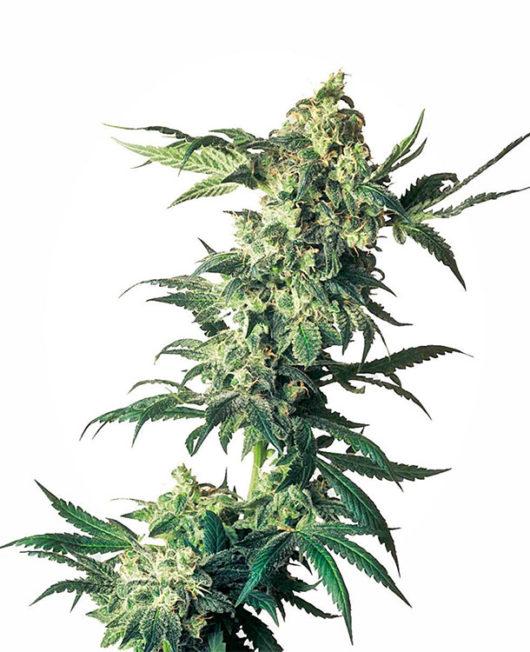 Northern Lights Feminizowane, Nasiona Marihuany, Konopi, Cannabis