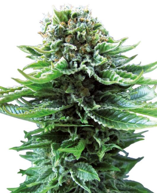Northern Lights Automatic Feminizowane, Nasiona Marihuany, Konopi, Cannabis