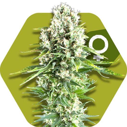 Northern Lights XL Feminizowane, Nasiona Marihuany, Konopi, Cannabis