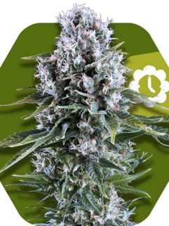 Northern Lights XL Automatic Feminizowane, Nasiona Marihuany, Konopi, Cannabis