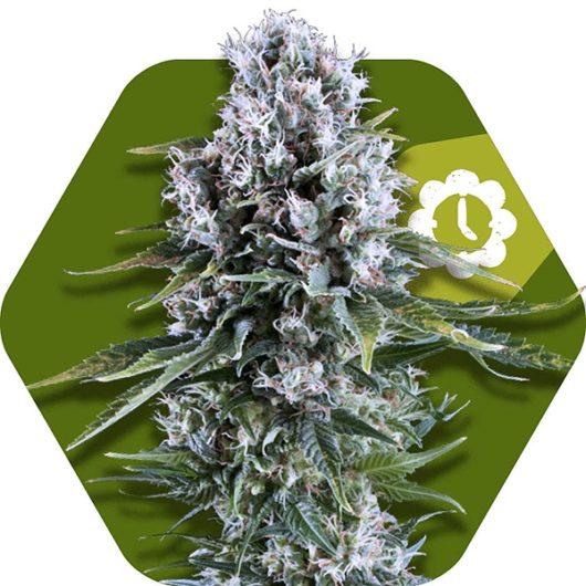 Northern Lights XL Automatic Feminizowane, Nasiona Marihuany, Konopi, Cannabis