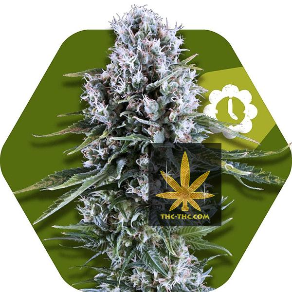 Northern Light XL Automatic Feminizowane