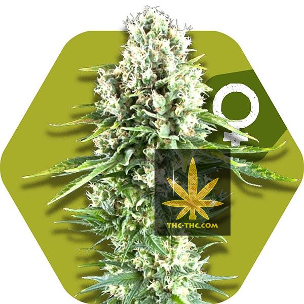 Northern Light XL Feminizowane