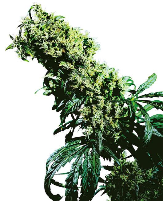 Northern Lights#5 X Haze Feminizowane, Nasiona Marihuany, Konopi, Cannabis