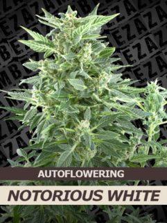 Notorious White Automatic Feminizowane, Nasiona Marihuany, Konopi, Cannabis