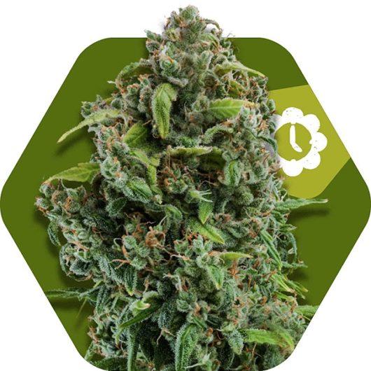 NYC Diesel Automatic Feminizowane, Nasiona Marihuany, Konopi, Cannabis