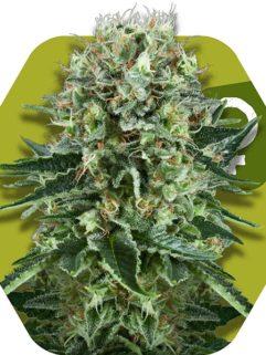 OG Bubble Gum Feminizowane, Nasiona Marihuany, Konopi, Cannabis