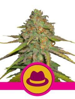 O.G. Kush Feminizowane, Nasiona Marihuany, Konopi, Cannabis