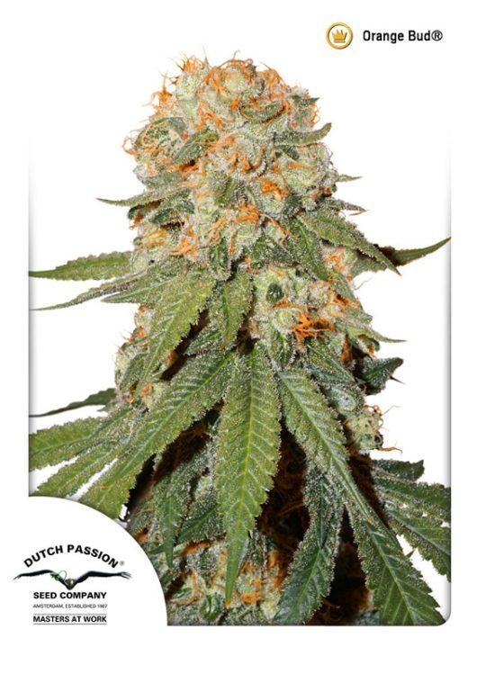 Orange Bud Feminizowane, Nasiona Marihuany, Konopi, Cannabis