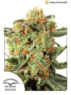 Orange Hill Special Feminizowane, Nasiona Marihuany, Konopi, Cannabis