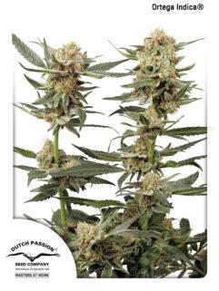 Ortega Indica Feminizowane, Nasiona Marihuany, Konopi, Cannabis