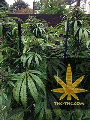 Outdoor Mix Feminizowane - Female Seeds, Nasiona Marihuany, Konopi, Cannabis