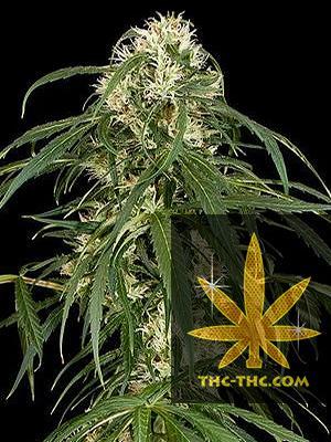 Outdoor Star Feminizowane, Nasiona Marihuany, Konopi, Cannabis