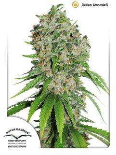 Outlaw Amnesia Feminizowane, Nasiona Marihuany, Konopi, Cannabis
