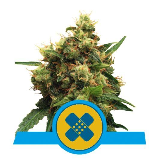Painkiller XL Feminizowane, Nasiona Marihuany, Konopi, Cannabis