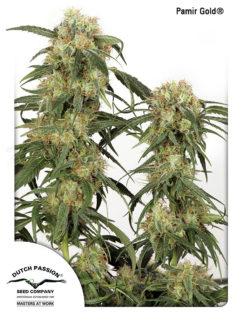Pamir Gold Feminizowane, Nasiona Marihuany, Konopi, Cannabis