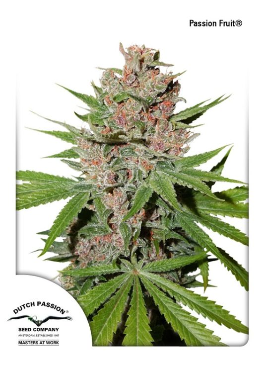Passion Fruit Feminizowane, Nasiona Marihuany, Konopi, Cannabis