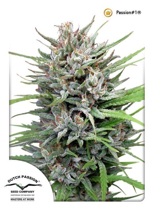 Passion#1 Regularne, Nasiona Marihuany, Konopi, Cannabis
