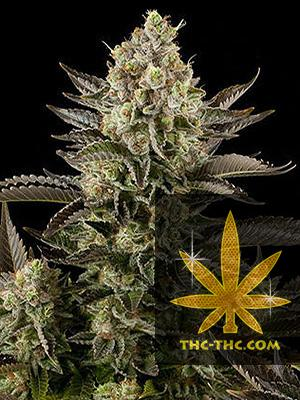 Perfect Haze Automatic Feminizowane, Nasiona Marihuany, Konopi, Cannabis