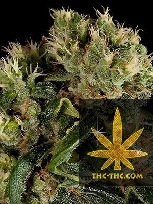 Perfect Haze Feminizowane, Nasiona Marihuany, Konopi, Cannabis