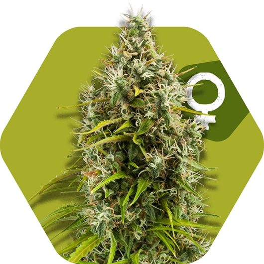 Pineapple Express Feminizowane, Nasiona Marihuany, Konopi, Cannabis