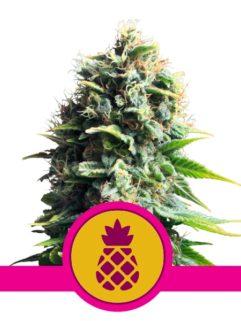 Pineapple Kush Feminizowane, Nasiona Marihuany, Konopi, Cannabis