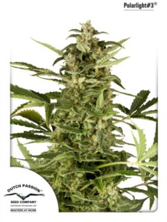 PolarLight#3 Automatic Feminizowane, Nasiona Marihuany, Konopi, Cannabis