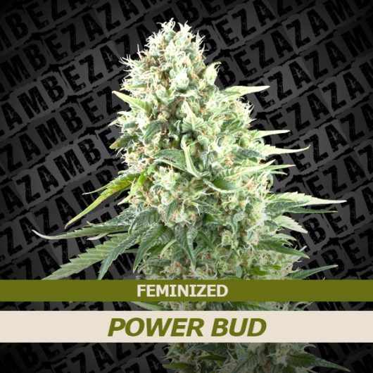 Power Bud Feminizowane, Nasiona Marihuany, Konopi, Cannabis