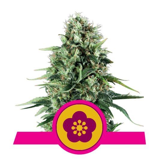 Power Flower Feminizowane, Nasiona Marihuany, Konopi, Cannabis