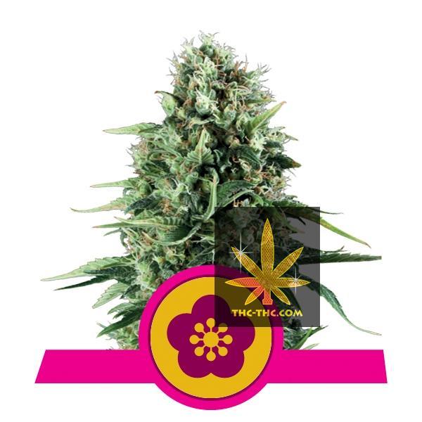 Power Flower Feminizowane