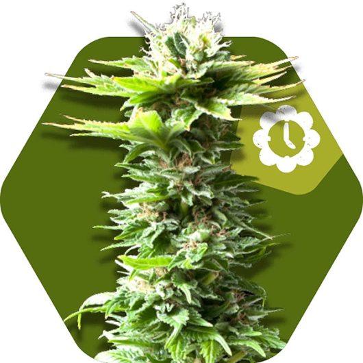 Power Kush Automatic Feminizowane, Nasiona Marihuany, Konopi, Cannabis